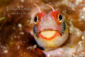 Blenny Face, Acapulco Mexico by Alejandro Topete 